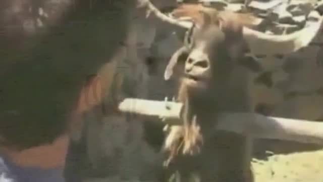 Latest Internet Craze: The 'Screaming Goat' Video
